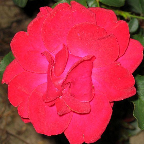 rosier multiflore un rosier multiflore la roseraie. Black Bedroom Furniture Sets. Home Design Ideas