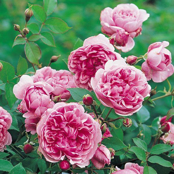 Wildeve ausbonny rose inglesi rosa inglese wildeve for Rosa inglese
